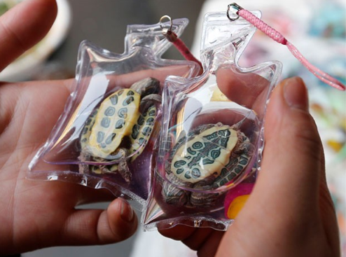two live keychain turtles held in two hands