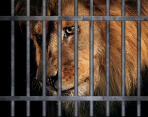a lion sits sadly behind bars